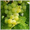 green_grapes
